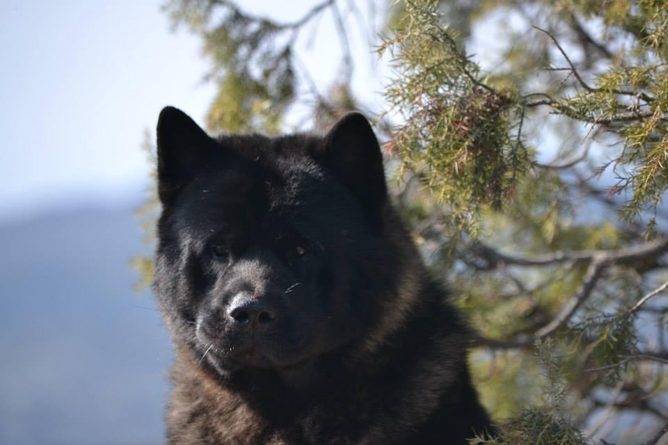 Bearfactz BLACK SHADOW akita
