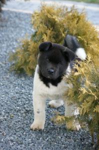Akita amerykańska, american puppy